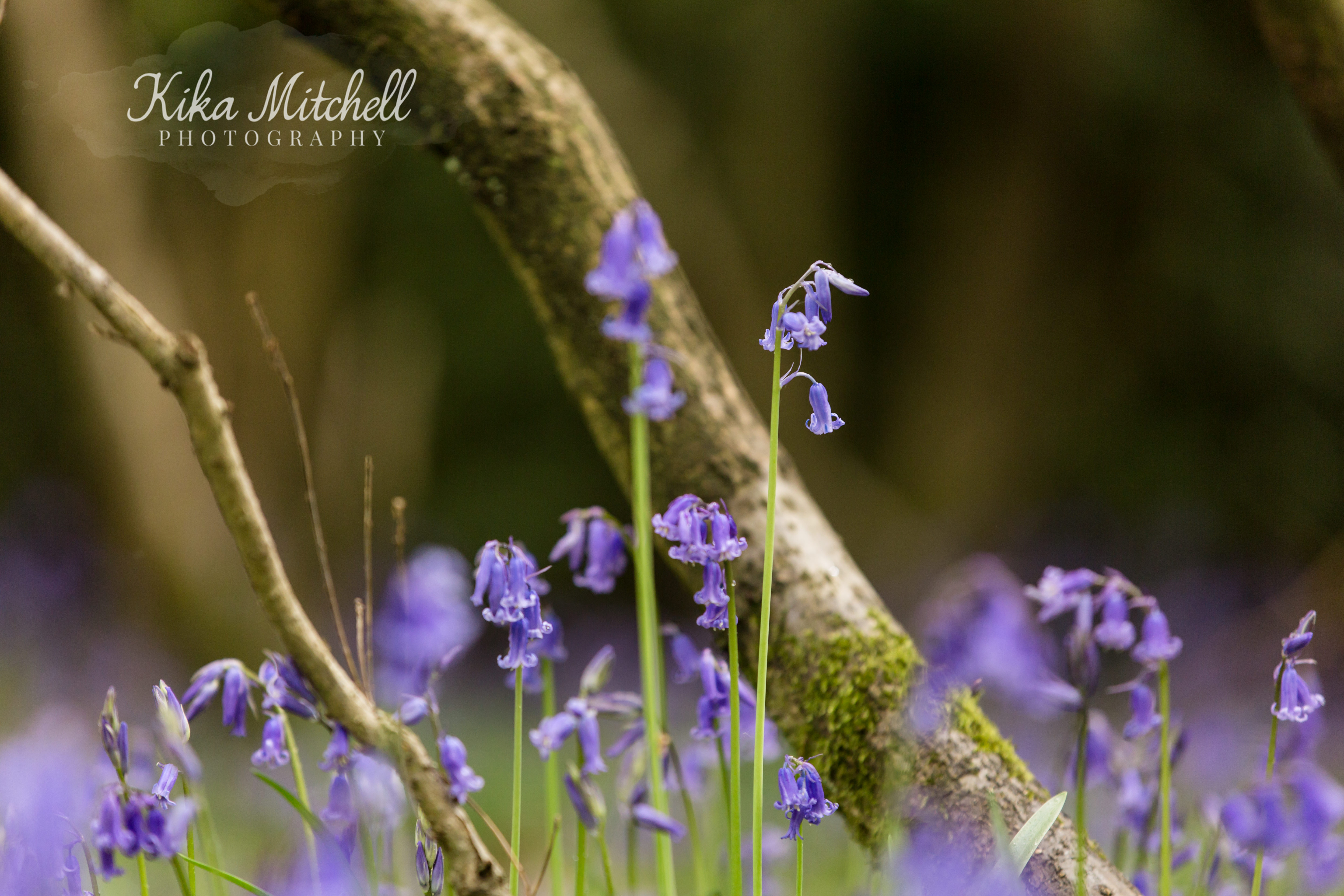 bluebells in the Danbury woods by Kika Mitchell Photography Chelmsford family photographer
