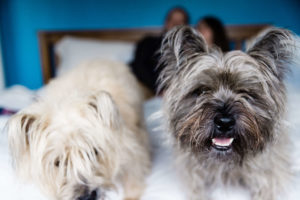 cairn terriers on newborn shoot by Chelmsford photographer Kika Mitchell Photography