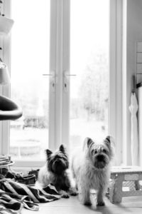 lockdown baby cairn terriers captured by Chelmsford photographer kika mitchell photography